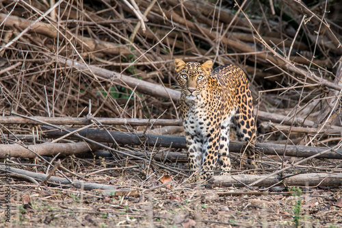 Fotobehang Luipaard Leopard cub