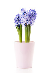 Blue Hyacinth in a pink flower pot.