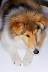 animal, canine, collie, natur, sheepdog, white