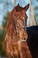 Portrait of beautiful red horse with bridle