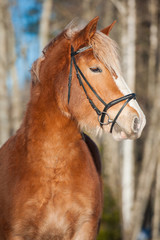 Portrait of beautiful horse with long white mane