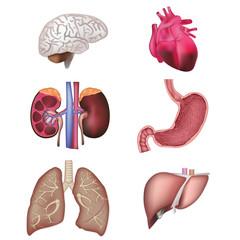 Organs vector illustration
