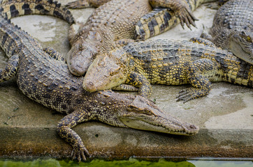 Crocodile are sleeping.