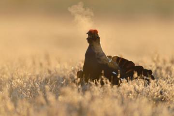 Black grouse calling