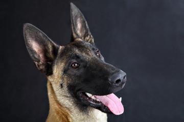 malinois belgian shepherd dog studio portrait, gray background