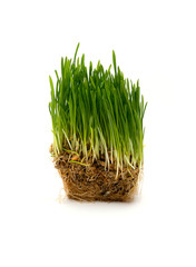 fresh green wheat seedling