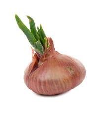 onion with their germs on white background