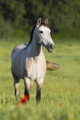 Pferde Im Mohnfeld