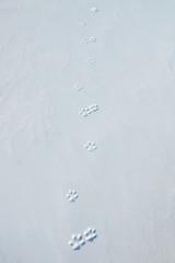 Foxy footprints on the hard snow