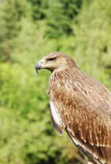Proud profile of an eagle against green foliage