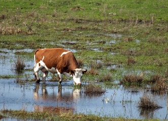 cow on marsh