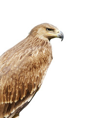 Proud profile of an eagle isolated over white background