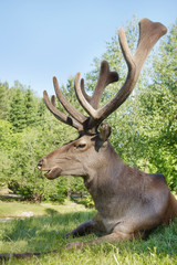 Wild red deer with large horns lying on the green grass