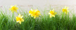canvas print picture - Daffodils in the Grass