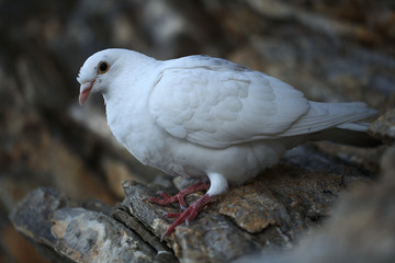 white dove on a rock