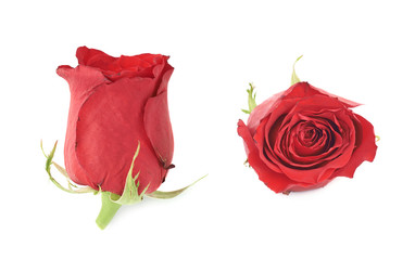 Red rose flower bud isolated