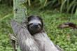 Dreifingerfaultier im Regenwald von Costa Rica - 78758505