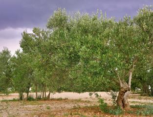 oliviers sous ciel orageux