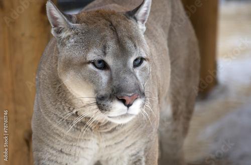 Plexiglas Puma Пума, или горный лев, кугуар .