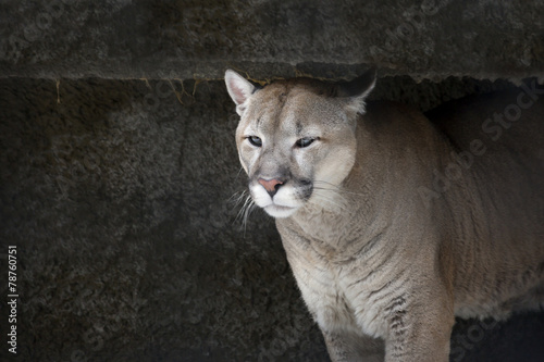 Пума, или горный лев, кугуар .