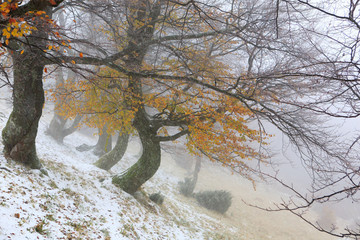 First snow falls on the hillside in the beech forest