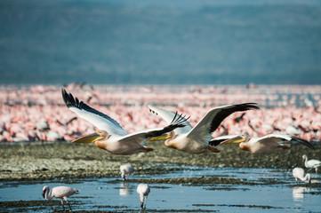 White pelicans at Lake Nakuru, Kenya, Eastern Africa