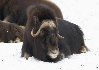 Овцебык или мускусный бык.