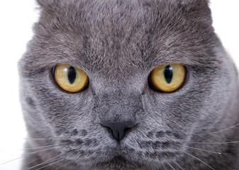 Nahaufnahme Augen BKH Katze