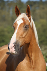 Amazing palomino horse with blond hair