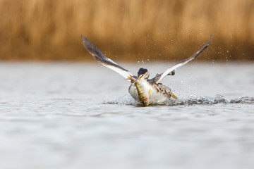 a great crested grebe with a fish