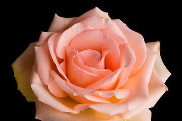 Pale Peach Rose