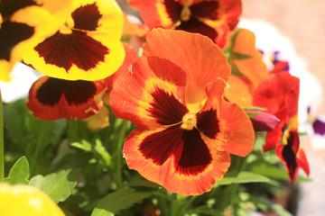 fiore viola mammola