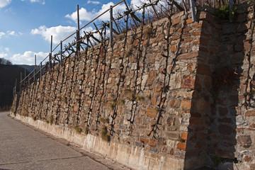 Reben an der Weinbergmauer