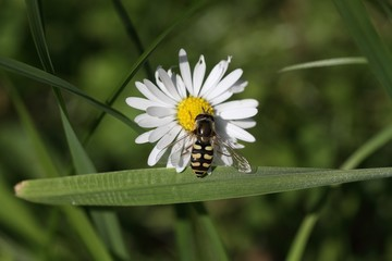Flower fly (Hoverfly,Syrphidae) drinking from flower.