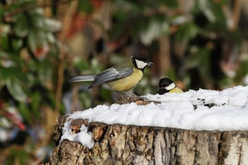 Great Tit (Parus major) on a stump - winter