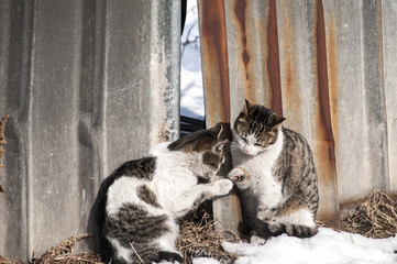 Two adorable street cats on tin grunge fence wall background