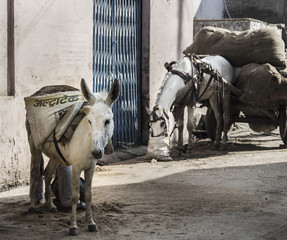 Donkey and eating horse on rural street. Agra. India