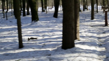 Squirrel running through the woods