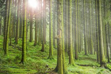 Sonnenstrahlen im Tannenwald