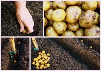 plantation de pomme de terre,nouvelle au printemps