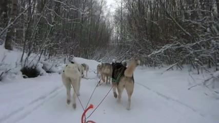 Un attelage de chiens de traîneau en Laponie finlandaise
