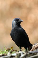 jackdaw (corvus monedula) sitting on a fence