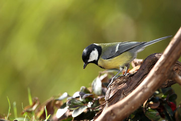 great tit (Parus major) in a garden