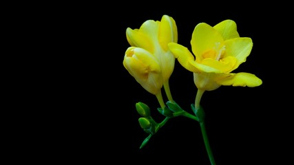 bud drop freesia isolated on black background