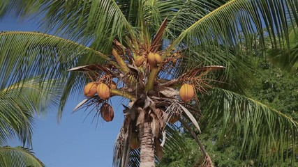 Panorama. Stock Video Footage 1920х1080 Coconut Palm Breeze