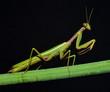 portrait of praying mantis on the stem
