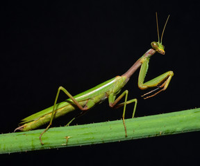 portrait of praying mantis on the stem