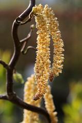 Male Hazel catkins of the corkscrew hazel (Corylus avellana cont