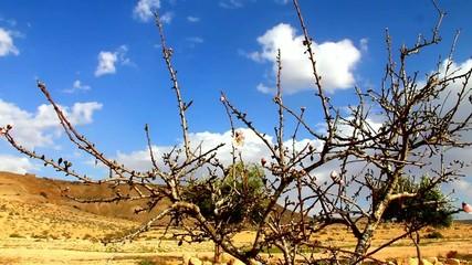 Negev Desert . Almond  starts  flowering