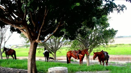 Horses tethered under the trees